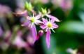 「ダイモンジソウ(大文字草)」の花。(29.10.22)