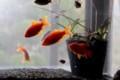 室内の水槽に引っ越した「金魚たち」。(29.10.24)