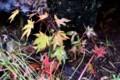 芝生に、「イロハカエデ」の実生・幼木が雨に濡れて…。(29.10.25)