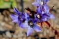 寒さにメゲズ咲く、「リンドウ(竜胆)」の花。(29.10)
