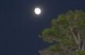 「十三夜」の名月と、「イチイ(一位)」の木。(29.11.1)(17:17)