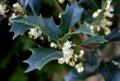 季節の花・「ヒイラギ(柊・疼木)」。(29.11.8)