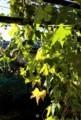 霜害を免れた、軒下の「沖縄雀瓜」。(29.11.7)