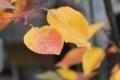 「石鳥谷のヤマナシ」の紅葉。(29.11)