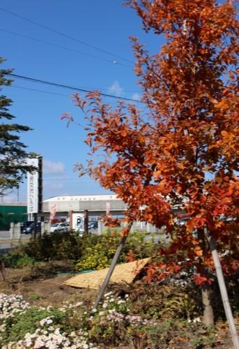 青空のもと、「コナラ(小楢)」の紅葉、「北陸新幹線E7系」が…。(29.