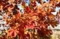 赤褐色に光る、「コナラ(小楢)」の紅葉。(29.11.9)