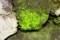 「ヒカリゴケ」が、石の面に黄緑色に…。(29.11.10)