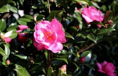 寒冷地でも咲く、「サザンカ(山茶花)」の花。(29.11.10)