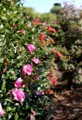 寒冷地でも咲く、「サザンカ(山茶花)」。(29.11.10)