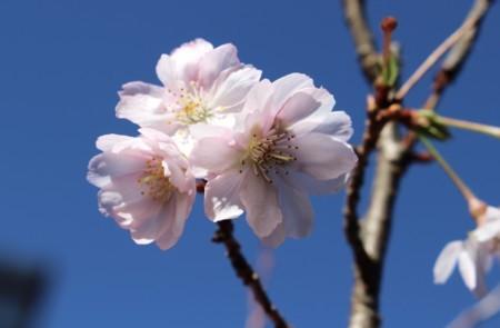 青空に映える、「ジュウガツザクラ(十月桜)」の花。(29.11.12)