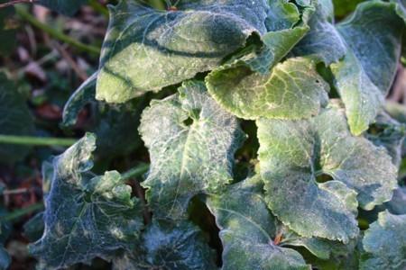 「ルナリア・合田草」の葉に、降霜がびっしり…。(29.11.13)
