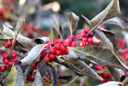「ウメモドキ(梅擬)」の葉が霜枯れて。(29.11.13)