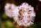 「モミジガサ(紅葉傘)の冠毛」も熟し、種子採りの好機。(29.11.14)