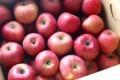 「ふじ」リンゴが収穫・出荷の最盛期に。(29.11.17)