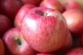 葉擦れ発生の「ふじ」リンゴ。(29.11.17)