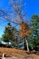 「ヤドリギ」が目立つ、岩村田公園・招魂社の木々…。(29.11.21)