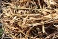 藁鉄砲の芯に入れた、「茗荷」の茎。(29.11.27)