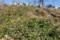 「賢治ガーデン」南斜面一面に、「フユシラズ(冬知らず)」の花が…
