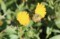 南斜面で咲く「フユシラズ(冬知らず)」の花。(29,11,27)