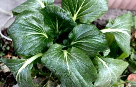葉が凍てついた「コマツナ(小松菜)」。(29.111.28)