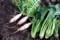 野良土産は、「コマツナ(小松菜)」と葉付き「三浦大根」。(29.11.28)