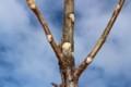 興味深い「オニグルミの葉痕」。(29.12.6)