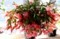 見頃を迎えた「クリスマスカクタス・シャコバサボテン」。(29.12.12)