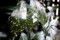 「アオキ(青木)」の葉にも小雪が…。(29.12.17)