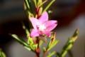 「サザンクロス・クロウェア」の開花。(29.12)