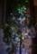 我が家の「クリスマス・ツリー」・デコレーション・(29.12.24)