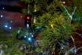 「クリスマスツリー」は、「コニファー・ゴールドクレスト」。(29.12.24