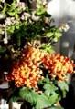 お正月バージョンの花々。(29.12.30)