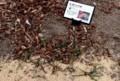 今は、「ヒガンバナ(彼岸花)」は、「葉の季節」。(30.1.8)