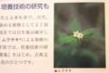 紫根染の材料、「ムラサキ」。(30.1.10)