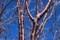 美しい樹肌を見せる、「オオヤマザクラ(大山桜)(30.1.11)」