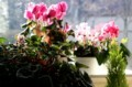 窓辺を彩る、「シクラメン」の花たち。(30.1)