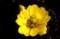 花を広げた「フクジョソウ(福寿草)」。(30.1.23)