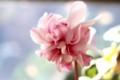 長く楽しめる「ローゼス・シクラメン」の花。(30.1.28)