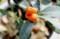 「キンズ(金豆)」の果実。(30.1.26)