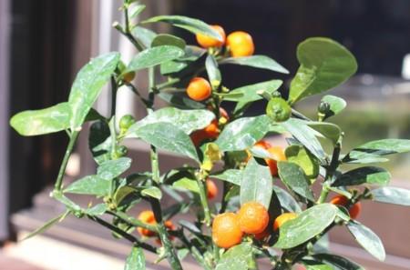 お気に入りの実物盆栽・「キンズ(金豆)」(30.1.26)