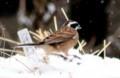 雪中で稲穂を啄む「ホオジロ(頬白)」(30.2.1)