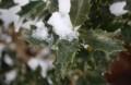 寒さに凍てつく「ヒイラギ(柊)」の葉。(30.2.3)