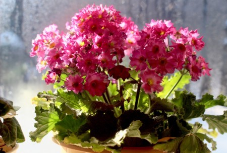 窓辺の「プリムラ・マラコイデス」・和名:「乙女小桜」。(30.2.4)