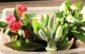 「花キリン」、「月兎耳」も日光浴。(30.2)