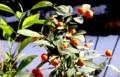 「ミカン(蜜柑)」科の植物も、日光浴。(30.2.12)