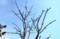 青空に伸びる「トチ(栃)」の木の枝。(30.2.13)