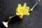 「臘月」に咲くという「ロウバイ(臘梅・蝋梅)」の花。(30.2.15)