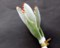 「月名(つきのな)植物」・「ツキトジ(月兎耳)」。(30.2.16)