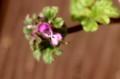 シソ科「ホトケノザ(仏の座)」の花。(30.2.21)
