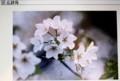 「オオシマザクラ(大島桜)」の花。(『広辞苑」)((30.2.25)』